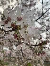 お花見散歩🌸